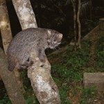 Oldest Iriomote wildcat dies aged 15 years one month