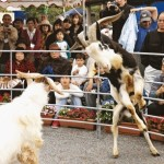 Kick ass – Goat-fighting at the Katsuyama Flower Festival