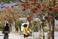 Taketomi's deigo trees blooming brightly after six years, adding vigor to islanders' activities