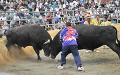 Bullfighting - 4000 spectators watch the action at the All Okinawa Spring Tournament