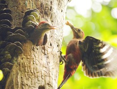 Okinawa Woodpecker busily rearing its chicks 