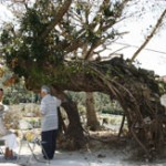 Typhoon No. 2 blows over 300 year-old Ako tree at Hamahiga-jima