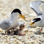 Little tern, please grow up healthy and strong!