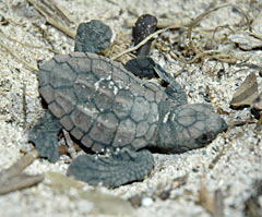 Baby turtles hatched in the sand at the seaside of Ogimi Village, July 28.