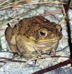 Several non-native toads captured - a threat to the ecosystem