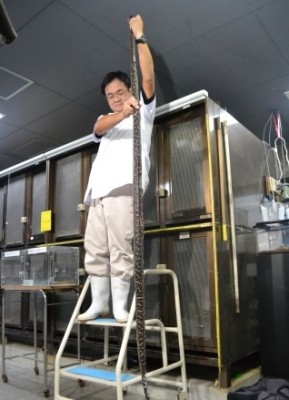 World's longest habu snake
