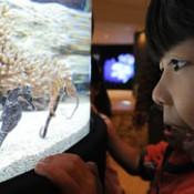 Seahorses swim gracefully at Okinawa Churaumi Aquarium