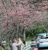 Motobu Yaedake Cherry Blossom Festival kicks off