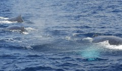 Five humpback whales spotted off Zamami Island