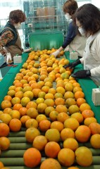 JA Okinawa begins shipping citrus tankan Hayata to locations throughout the country