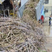 Processing of sugarcane starts - lowest output since Okinawa's reversion