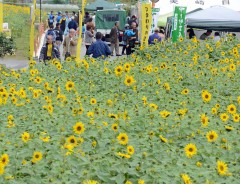 Sunflower festival begins in Kitanakagusuku.