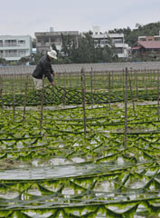 At Kitanakagusuku a green carpet of <em>arsa</em> seaweed expands ahead of the upcoming harvest season