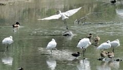 Black-faced Spoonbills enjoy sunbathing at Tomigusuku.