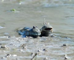 Bearded mudskippers enjoy the spring weather