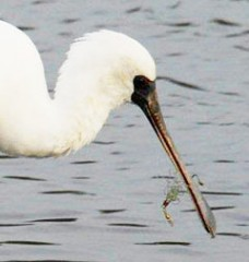 Black-faced spoonbill has its beak hooked in the same kind of accident that occurred four years ago