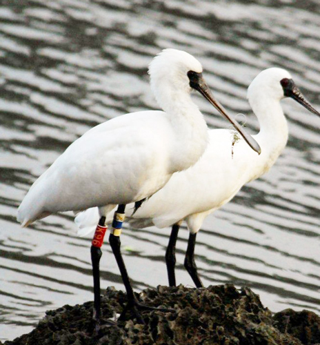 blackfacedspoonbill