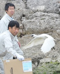 Black-faced spoonbill flies into the sky over Tomigusuku after having treatment