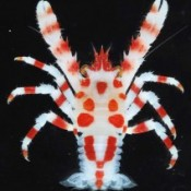 Okinawa Churaumi Aquarium finds a new species Galathea Chura