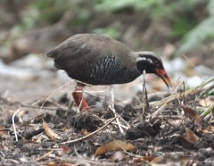 Okinawa rail photographed eating its lunch