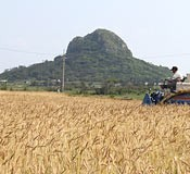 Wheat harvest season on Iejima