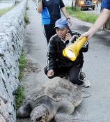 Passersby rescue stray loggerhead turtle on road