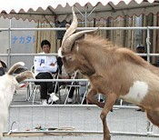 Goat-fighting or <em>pijaorasai</em> held on Sesoko Island 