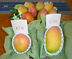 Okinawa Prefectural Government produces new Okinawan mangoes