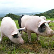Maruichi Meat expands exports of <em>agu</em> pork to Hong Kong