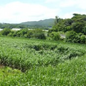 Sugarcane mysteriously flattened in Nakijin