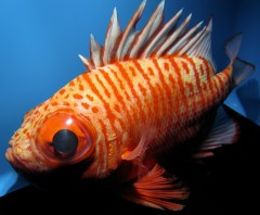 Okinawa Churaumi Aquarium displays a rare deep-water fish