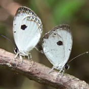 Researcher discovers rare species of butterfly in Takae