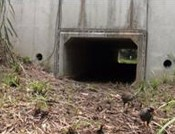 "Seventy-four Okinawa Rails have walked through their ""pedestrian crossing tunnel"" in Kunigami"