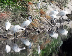 Six black-faced spoonbills rest in Tomigusuku