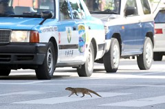 Mongoose boldly crosses street in Nago