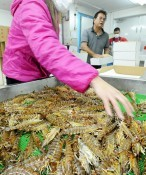 Shipment of Japanese tiger prawns gets into in full swing