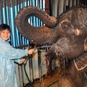 Schoolchild helps wash an elephant at Kinoshita Circus