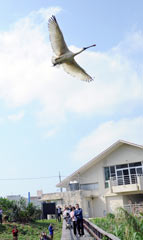 Spoonbill recovers to return to the wild
