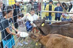 Cattle Festival on Kuroshima Island