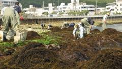 <em>Hijiki</em> seaweed harvest begins