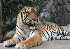 Popular tiger Shima dies in Zoo
