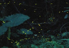 Fantastic lights from fireflies in Ogimi Village