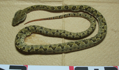 Habu snake caught on Miyako Island for the first time