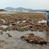 People enjoy digging clams at Henoko
