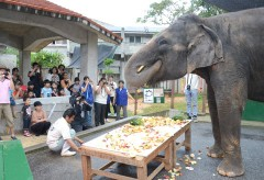 Indian elephant Ryuka eats cake for 13th birthday