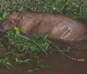 Capybara appeared at Arakawa river escapes