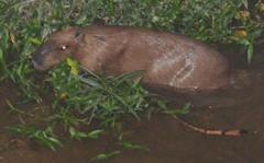 Capybara appeared at Arakawa river escapes