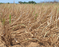 Lack of rain damages sugarcane and vegetables in Okinawa