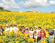 Sunflowers in full bloom in Haebaru