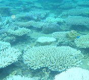 Coral bleaching confirmed at Kunigami for the first time since 1998